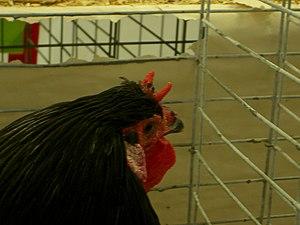 A La Flèche chicken.