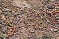 La Palma - Barlovento - Carretera del Faro - Mesembryanthemum nodiflorum 02 ies.jpg