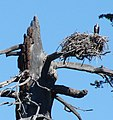 Lake Tahoe, CA, Southwest Shore, Osprey in Nest 9-2010 (5759544488).jpg