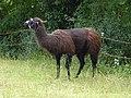 Lama in Cavalese.jpg