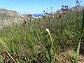 Lanaria lanata Kleinmond 05.jpg