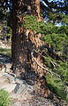 Large Pinus monticola base Lake George.jpg
