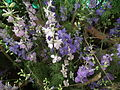 Larkspur or Delphinium from lalbagh 1794.JPG