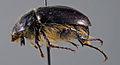 Lasiocala arrowi paratype 1 lateral.jpg