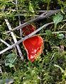 Lauffen a.N. Neckarschlinge Sarcoscypha coccinea 20140316.jpg