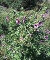 Lavatera arborea1.jpg