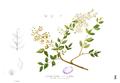 Lawsonia inermis Blanco1.108.png