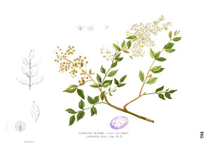 Hennastrauch (Lawsonia inermis), Illustration