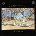 Leopard, Lubwa, Zambia, ca.1905-ca.1940 (imp-cswc-GB-237-CSWC47-LS6-031).jpg