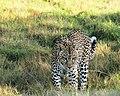 Leopard (5135149428).jpg