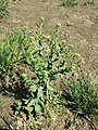 Lepidium campestre sl3.jpg