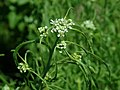 Lepidium sativum 2019-06-03 4553.jpg