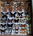 Lepidoptera collection.jpg