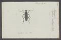 Leptura - Print - Iconographia Zoologica - Special Collections University of Amsterdam - UBAINV0274 033 12 0047.tif
