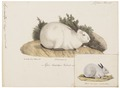 Lepus cuniculus - 1700-1880 - Print - Iconographia Zoologica - Special Collections University of Amsterdam - UBA01 IZ20600235.tif