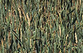 Les Plantes Cultivades. Cereals. Imatge 1840.jpg