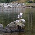 Lesser Black-backed Gull (Larus fuscus) - Oslo, Norway 2020-09-13.jpg