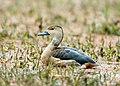 Lesser Whistling Duck (8450582630).jpg