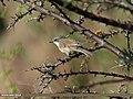 Lesser Whitethroat (Sylvia curruca) (15708560380).jpg