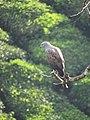 Lesser fish eagle IMG 0705.jpg