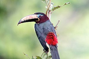 Toucan - The lettered aracari is the smallest species of toucan.