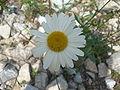 Leucanthemum vulgare.001 - Serra de Enciña de Lastra.JPG
