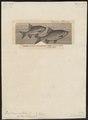 Leuciscus rutilus - 1700-1880 - Print - Iconographia Zoologica - Special Collections University of Amsterdam - UBA01 IZ14900029.tif