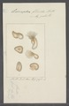 Leucophra fluida - - Print - Iconographia Zoologica - Special Collections University of Amsterdam - UBAINV0274 113 16 0031.tif