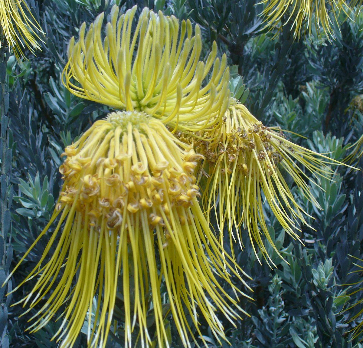 Leucospermum Reflexum Wikispecies