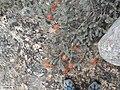 Leucospermum spathulatum Chris 1.jpg