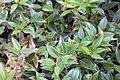 Leucothoe fontanesiana Green Sprite 1zz.jpg
