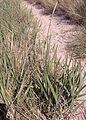 Leymus arenarius (zandhaver).jpg