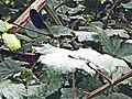 Libellula Galletto (Vaiano) 2.jpg