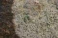 Lichen (40586424802).jpg