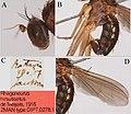 Lichtwardtia hirsutiseta (10.3897-zookeys.798.28107) Figure 21.jpg