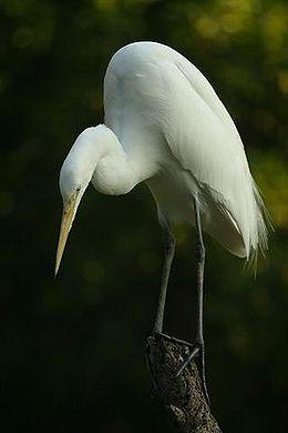 Lightmatter egret.jpg