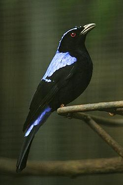 Lightmatter fairy bluebird.jpg