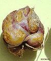 Liliumnepalensebulb.jpg