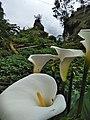 Lily trumpet.jpg