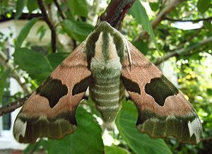 Lime hawk moth.jpg