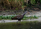 A tawny wading bird with a long orange and gray beak, walking in water near a sandy shore with water grasses in the background