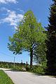 Linde in Wolfsegg 2015-05 NDM GD-108.jpg