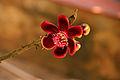 Lingam Flower.jpg