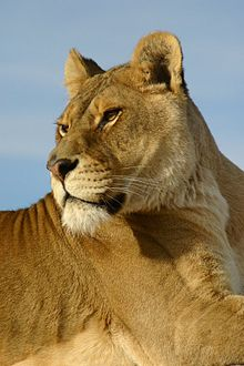 eab50a829e0e Wikijunior Big Cats Meet The Cats. From Wikibooks ...