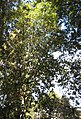 Lithocarpus densiflorus tree.jpg