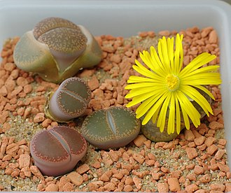 Phyllotaxis - A Lithops species, showing its decussate growth in which a single pair of leaves is replaced at a time, leaving just one live active pair of leaves as the old pair withers