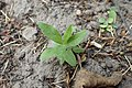 Lithospermum purpurocaeruleum kz01.jpg