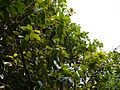 Litsea floribunda (5595582230).jpg