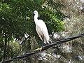 Little Egret-2-jaffna-Sri Lanka.jpg