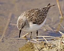 Little Stint (Calidris minuta) - Flickr - Lip Kee.jpg